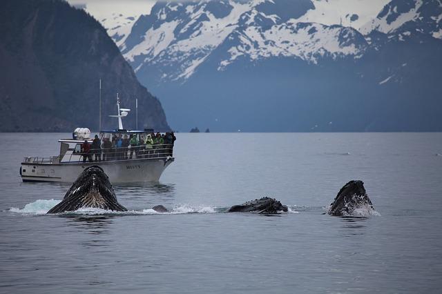Baleiunes à Bosses en Alaska